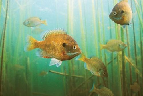 Giant Jumbo Blue Gills Sunfish